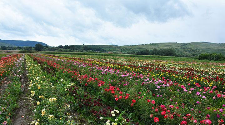 Atelierele-ILBAH–Aranjamente-florale-spectaculoase-la-Ziua-Rozelor-2018-5